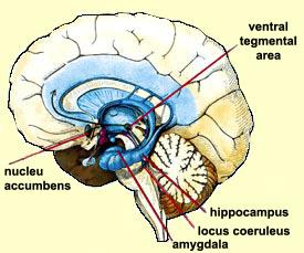 THE PLEASURE CENTRES AFFECTED BY DRUGS The nucleus accumbens definitely plays a central role in the reward circuit.
