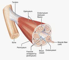 1 Muscles and Muscle Tissue Chapter 9 2 Overview of Muscle Tissues Compare and Contrast the three basic types of muscle tissue List four
