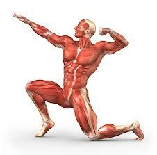 Special Characteristics of Muscle Tissue 1. Excitability 2. Contractility 3. Extensibility 4.