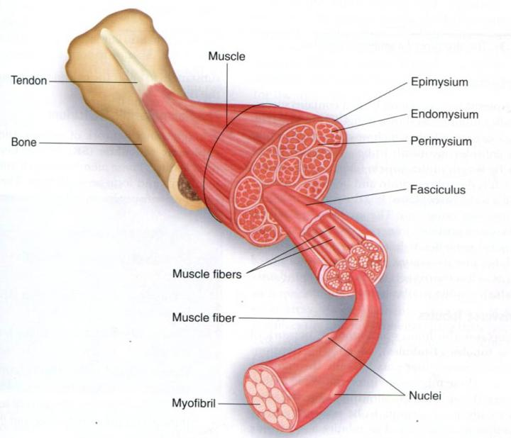 10 Skeletal Muscle Describe the Gross Structure of a Skeletal Muscle Describe the microscopic structure and functional roles of the myofibrils,