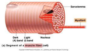 Muscle Each muscle is a discrete organ Nerve and Blood supply Connective Tissue Sheaths Epimysium Perimysium and fascicles Endomysium Attachments