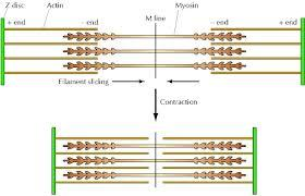 Sliding Filament Model of Contraction In a relaxed muscle fiber, thick and thin filaments overlap only at the ends of the A band.