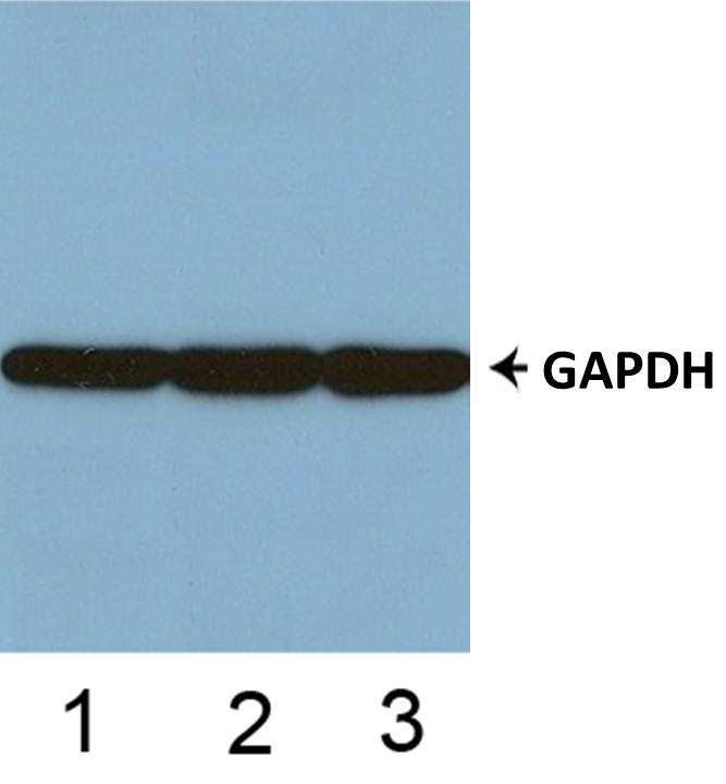 Anti-GAPDH Antibody The Anti-GAPDH Antibody is a mouse monoclonal antibody. It was tested on Western Blots with the tissue lysates from human, mouse, and rat for specificity.