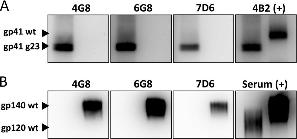 SIV gp41 Glycosylation Shields against NAbs FIG 3 Antibodies 4G8, 6G8, and 7D6 efficiently react with carbohydratedeficient mutant but not wild-type gp41 as shown on a Western blot.