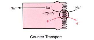 Secondary Active Transport (Counter Transport) H + Secretion Filtration Filtration = P S x GFR, where P S is the plasma concentration of substance S This represent the tubular load or filtered load