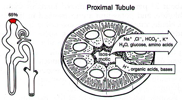 Figure P Glucose 21-15: x 15: GFR Glucose = Transport is 3.