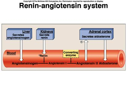 Hormonal Control of Renal Output and Cardiovascular Pressure Three main systems: Renin-Angiotension System Aldosterone Antidiuretic Hormone Structure of Juxtaglomerular Apparatus Low