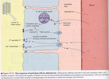 Antidiuretic Hormone Regulation of Urine Secretion and Body