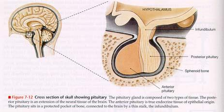 Nucleus of the Hypothalamus) extracellular fluid osmolarity -