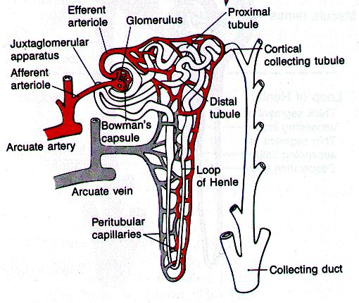 The Nephron
