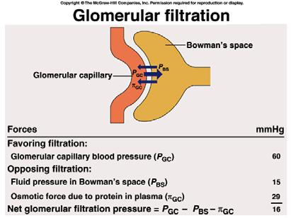 Glomerular Filtration Rate (GFR) Glomerular capillaries have higher filter rate than other capillaries Due to higher hydrostatic pressure and leakier capillaries