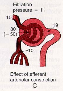 Efferent Constriction = Filtration GFR Increases with: Increased glomerular blood flow Decreased afferent arteriolar resistance Increased efferent arteriolar resistance Sympathetic stimulation