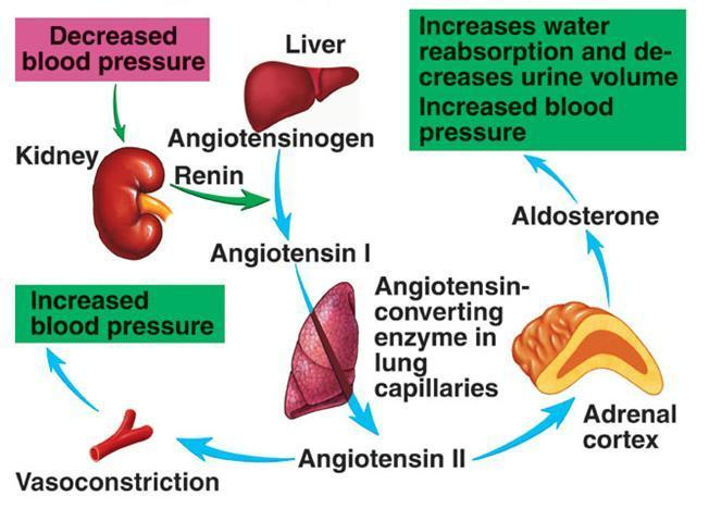 vasoconstricts the blood vessels and increase the heart rate and contractility trying to maintain the blood pressure.