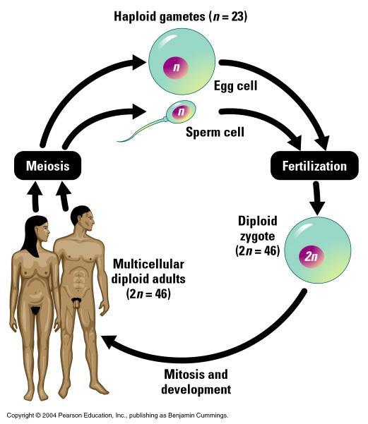Meiosis and Genetics Humans have chromosomes