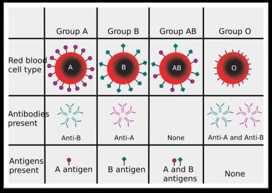 AOB blood type AOB blood gene codes for the type of antigen found in the membrane of red blood cells AOB blood gene is a codominant gene AOB blood gene has more than two alleles