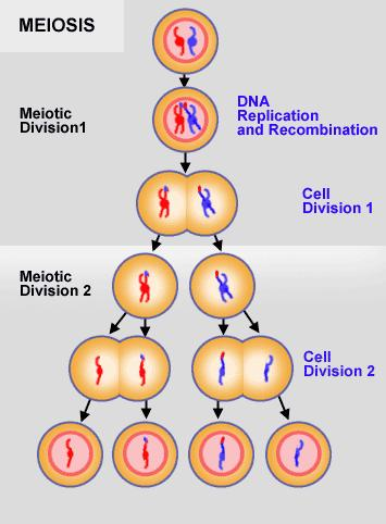 Gametes are produced by a different type of cell division called meiosis # of cells produced # of