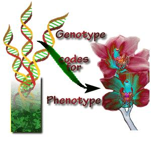 Genes determine traits Genotype is the genetic make up of an organism (gene) Phenotype is the appearance of an organism (trait) Genotype determines
