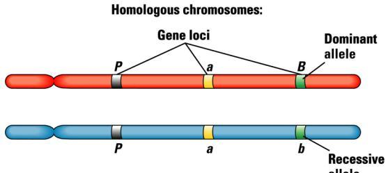 Homozygous genotype phenotype reflects genotype Heterozygous genotype one of the alleles is fully expressed The allele that is expressed is the dominant allele The allele that does not show up is the