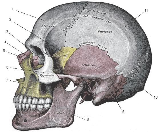sphenoid bone This articulation is the key driver in the movement of the cranium The sphenoid and the occiput have articulations