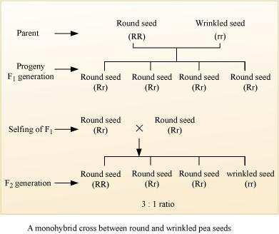 seeds) appeared and the recessive character (wrinkled seeds) got suppressed, which reappeared in F 2 generation. Question 5: Define and design a test cross?