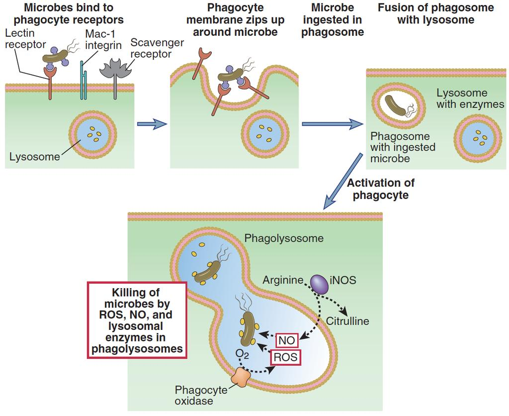 Phagocytosis and Killing of
