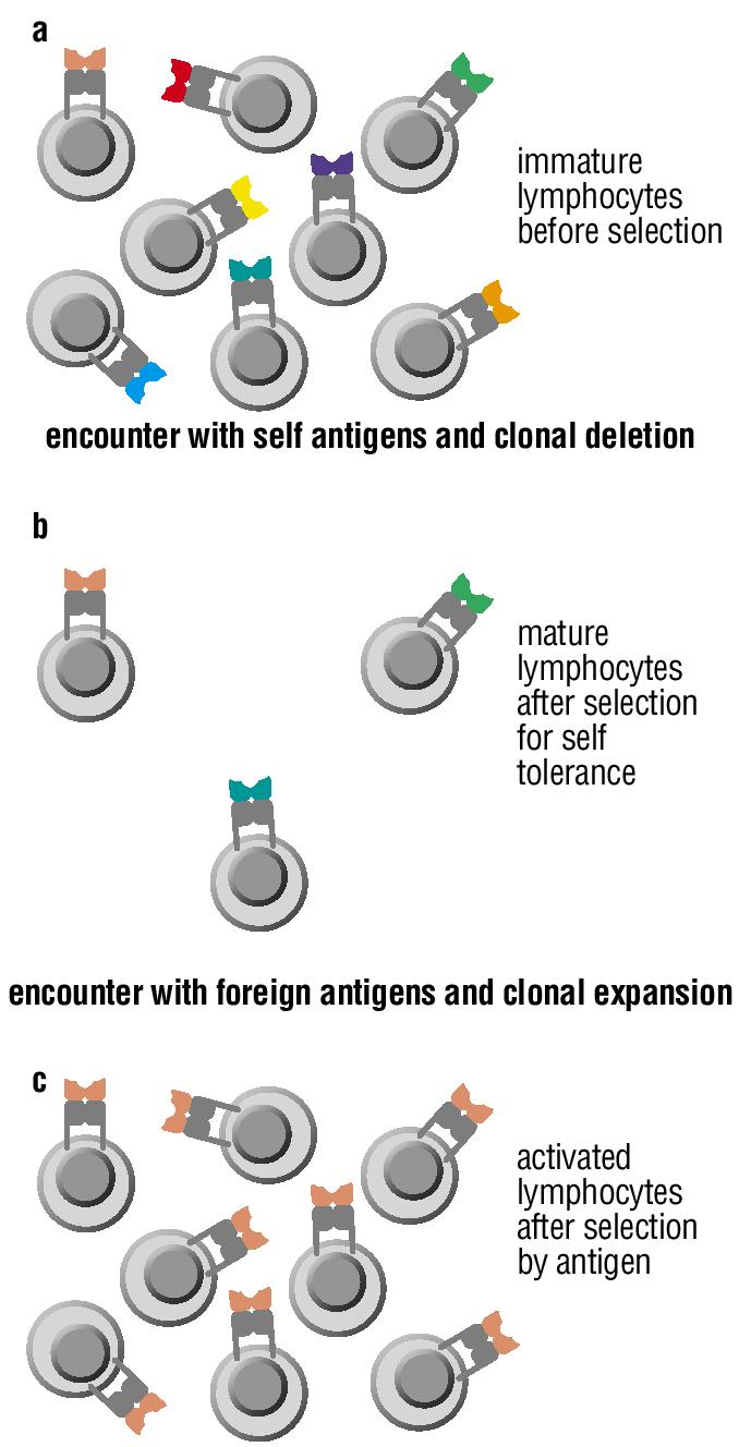 The Clonal Selection Hypothesis Generation of lymphocytes of many specificities Clonal deletion to remove