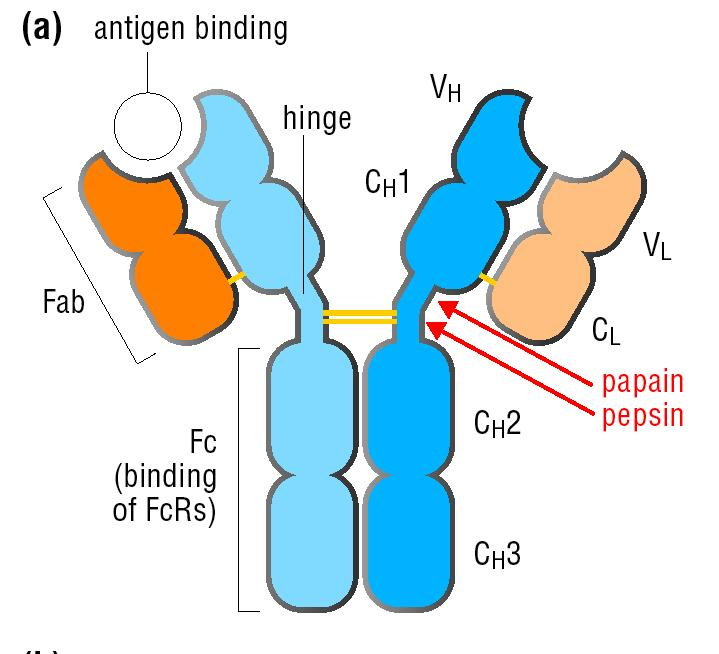 Antibodies bind antigens Two protein components: heavy chain and light