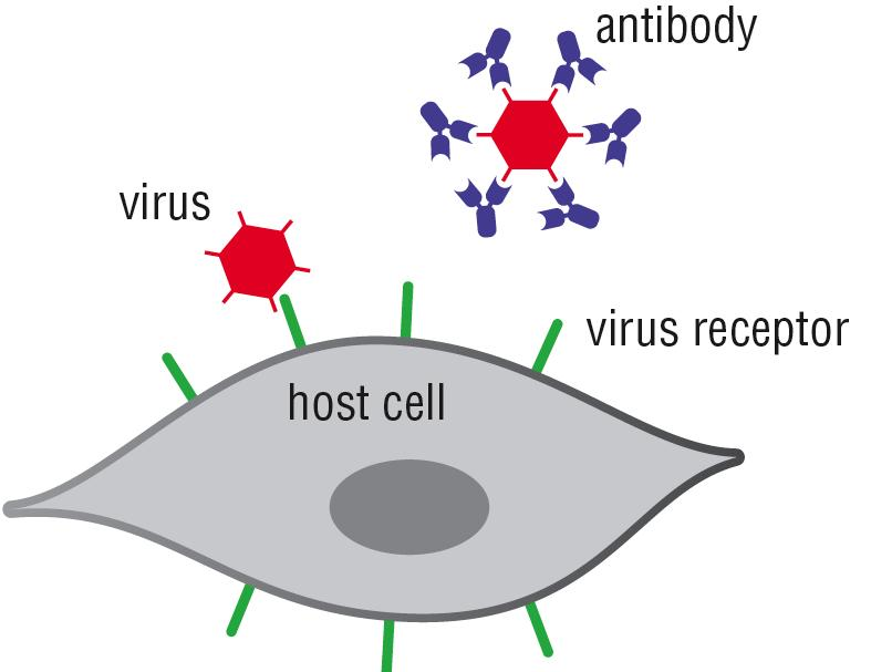 Antibodies can be