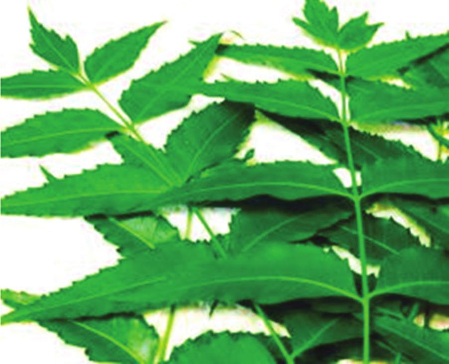 indica, Meliaceae Leaves Antimicrobial, antiseptic, antidandruff A. vera A.