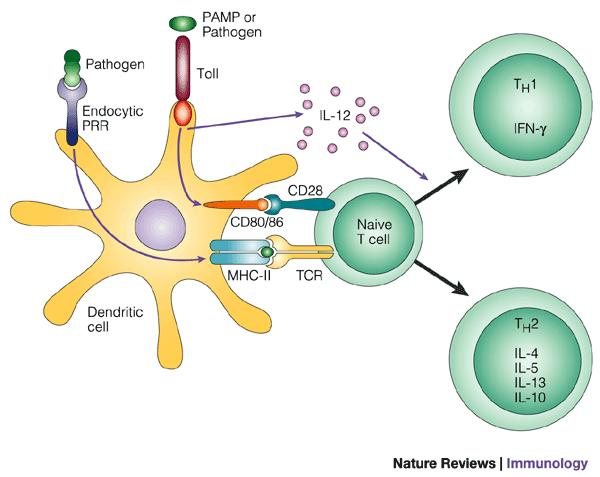 Second, dendritic cells express many receptors for capturing and responding to microbes (and other