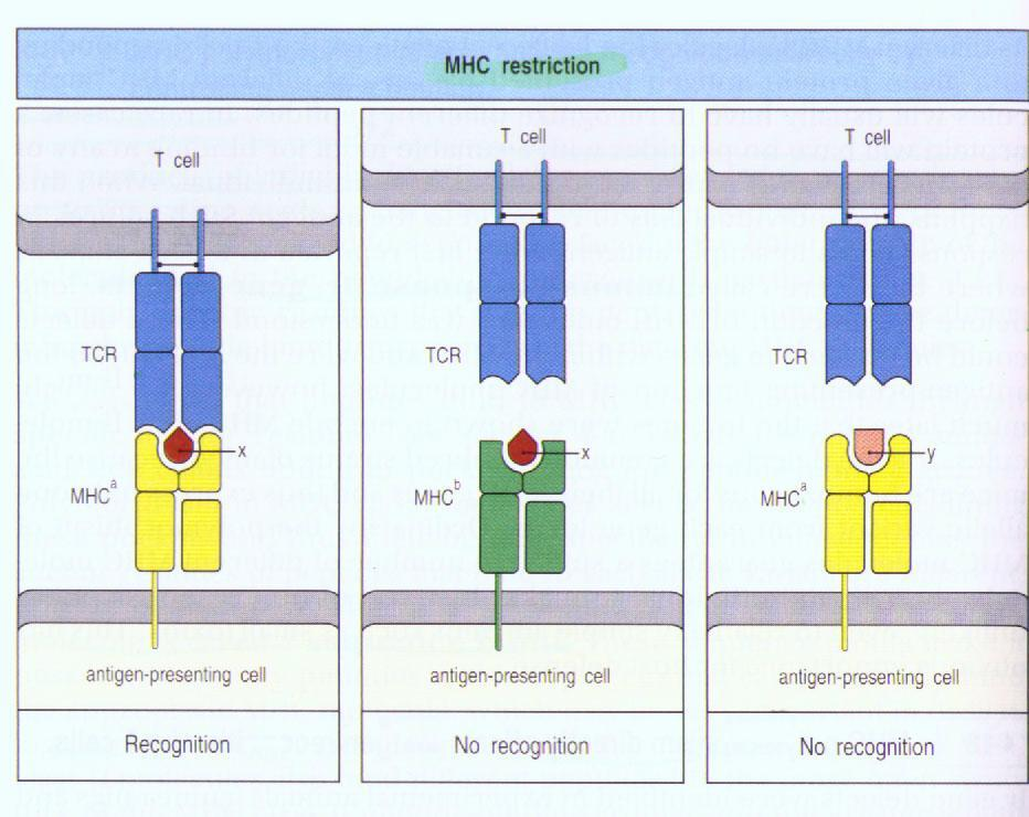 The αβ TCR recognizes peptide antigens that are displayed by major histocompatibility complex (MHC) molecules on the surfaces of antigen-presenting cells (APCs).