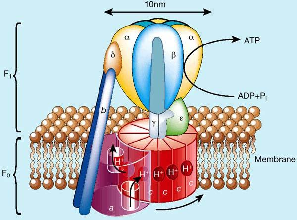 Now for some serious quaternary structure! ATP synthase energy converter. The enzyme consists of two rotary motors, F0 and F1 which are coupled via their drive shafts.