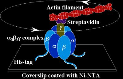 MORE optional Stuff on ATP synthase for those who are amused by this protein: Look at First two links ATP synthase do cross section alpha, beta gamma http://www.cnr.berkeley.