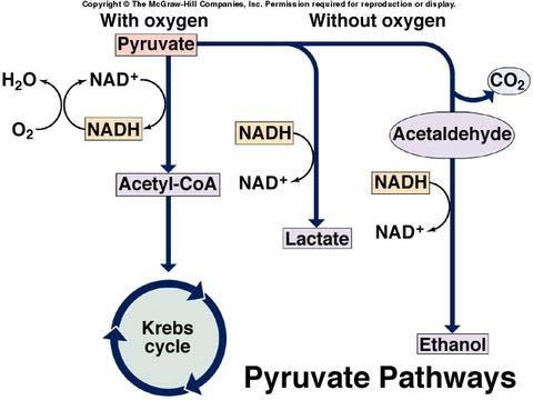 The three common metabolic fates of pyruvate generated by glycolysis: Under aerobic conditions, the pyruvate is completely oxidized via the citric acid cycle to CO 2 and H 2 O [NADH acts as a high