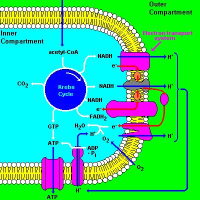 A Closer look at the inner mitochondrial membrane ATP synthase ATP Transporter The inner mt membrane is 70% protein and 30% phospholipid by weight many of the proteins belong to the