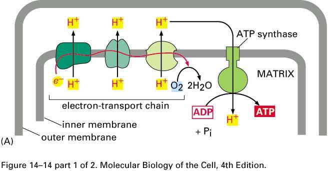 How to power ATP synthesis build a dam pile up protons on one side poke a hole -- use the rush of protons through the hole to turn a turbine which then makes ATP Oxidative Phosphorylation: