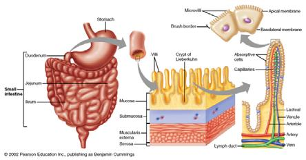 Regulation of the Pancreas Small intestine Acid levels in Small Intestine stimulate pancreatic