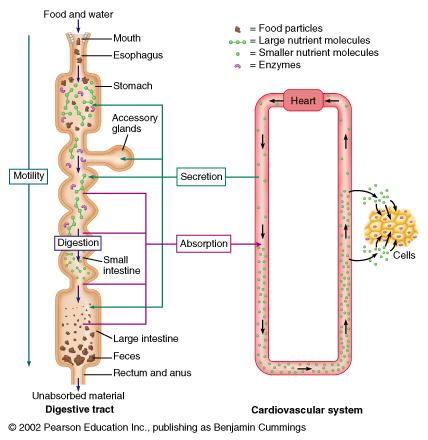 Basic functions of the GI tract Digestion: Dissolving and breaking down