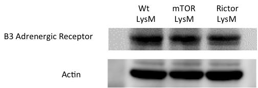 kda -5-5 Supplementary Figure 1. mtor LysM and Rictor LysM adipocytes express the β-adrenergic receptor.