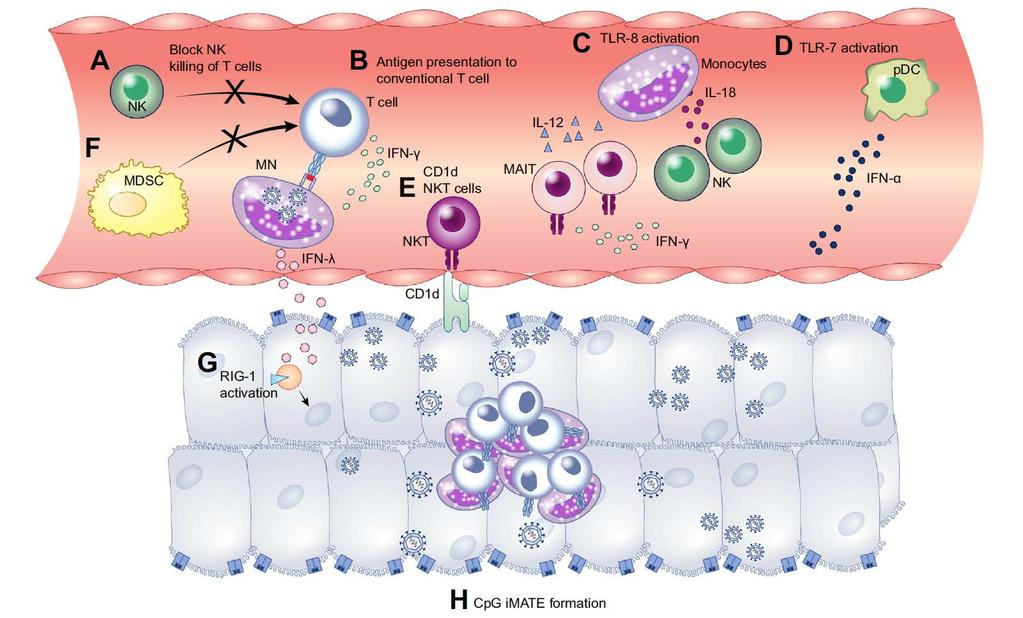 Opportunities for Innate-targeted Immunotherapy Multiple mechanisms that
