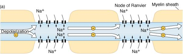 Saltatory Conduction When depolarization reaches a node, Na + enters the axon through open channels.