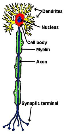 Neurons Neurons basic structural unit of nervous system Dendrites nerve fibers that carry impulses toward the cell body Axon single nerve fiber that carries impulses away