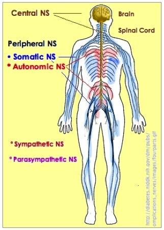 Two Divisions of Nervous System Central Nervous System brain and spinal cord Peripheral Nervous System consists of nerves subdivided into 2 parts
