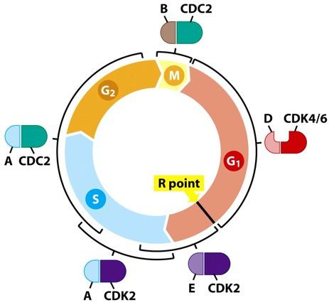 Interaction of cyclins and cdks during the cell cycle