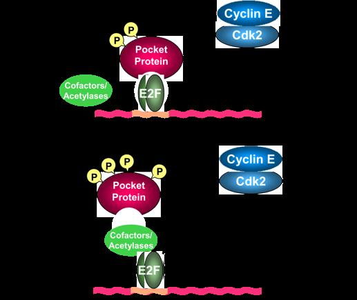 Cyclin D/cdk and cyclin E/cdk