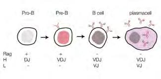 Immunoglobulins and B-cell development The lymphocytes developed in the BM (B cells) have as their final task the production of Ag-specific immunoglobulins (Ig), which function as antibodies (Ab).