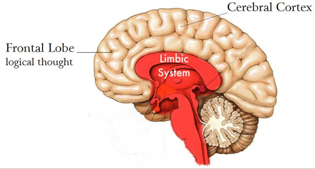 How our Brains Construct an Emotional Barrier Our limbic system consists of brain structures that largely govern emotions, behaviours and long-term memory.