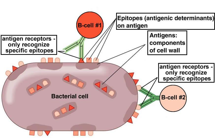Antigens An antigen is any substance that elicits a response from or cells. The binding protein on the surface of a B or T cell that recognizes an antigen and binds to it is called an.