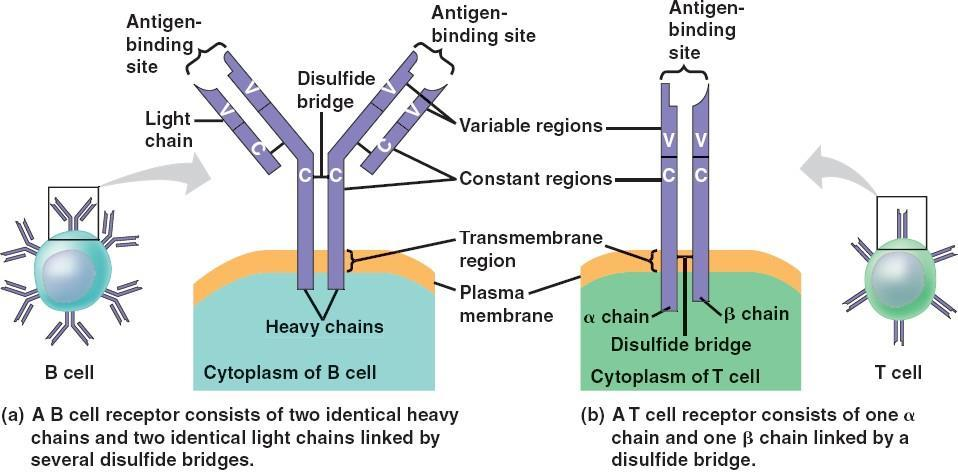 Antigen Recognition by B Cells and Antibodies The Structure of A B-Cell Antigen Receptor Each B cell antigen is shaped like the letter. It has two identical chains and two identical chains.