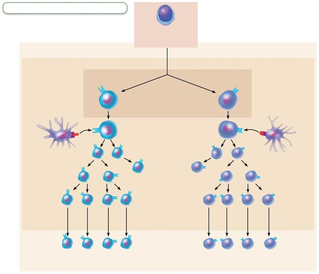 Figure 21.16 Major types of T cells.